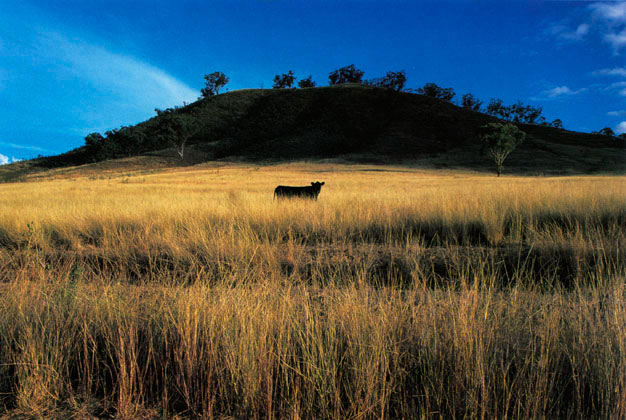Aberdeen Angus in landscape, Hunter Valley, New South Wales – 1988