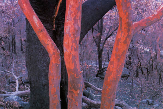 Trees after bush fire, Lobster Bay, New South Wales – c. 1976